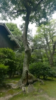 76_05-hiroshima-monks-house-tree.jpg